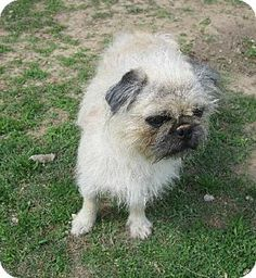 Gone  Urgent rural kill shelter  Please Help Me  Madisonville, TN - Pug Mix. Meet Scruffy a Dog for Adoption.
