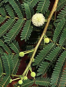 BayındırÇiçekYetiştiriciliği: ADA MİMOZASI ( Leucaena leucophala )
