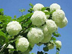 Kartopu ağacının çiçeği