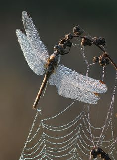 ♥ dew laden dragon fly and spider web look like they've been festooned with diamonds