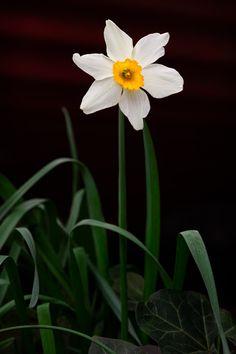 Daffodil by DavidKelly
