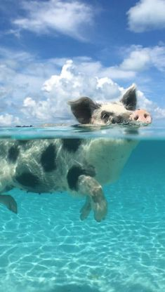Forget flying pigs – in The Bahamas, they swim Wallpaper Fofos, Pig Wallpaper, Animal Wallpaper, Cute Baby Pigs, Cute Piglets, Cute Babies, Baby Animals Pictures, Cute Animal Photos, Cute Pictures