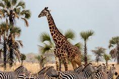Chem Chem Safari Lodge - Parc du Tarangire - Tanzanie