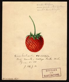 """Cumberland Strawberry (1891)by Deborah Griscom Passmore (1840-1911). """"U.S. Department of Agriculture Pomological Watercolor Collection. Rare and Special Collections, National Agricultural Library, Beltsville, MD 20705"""""""