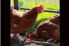 0210 光を制する者は養鶏を制す 編集 今回は養鶏(採卵鶏)における「光」の果たす役割や重要性をお話ししたいと思います。  前回 本来鶏の繁殖時期は春であり、それを感じるのは日の光が最も影響する・・というような趣旨をお話ししました。  それを受けて、農場の現場では光をどう使っているかをご説明したいと思いますが、もう少し前提となるお話を。  それは、光(光線)が鶏の卵を産めるようになるための性成熟に、大きな影響を与えるということが分かっているということです。  現場での原則は、性成熟に決定的な影響がある孵化後56日あたりから126日までの期間は明るい時間を一定にするか、増やしてはいけないといわれていますし、その後卵を産み始めてからは明るい時間を減らしてはいけないといわれています。