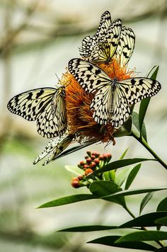 Onet Butterfly - Challenge your mind! Beautiful Bugs, Beautiful Butterflies, Amazing Nature, Butterfly Kisses, Butterfly Flowers, Monarch Butterfly, Butterfly Dragon, Paper Butterflies, Beautiful Creatures