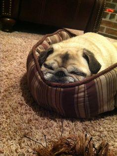 Sleepy pug