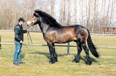 North Swedish Horse stallion Orion