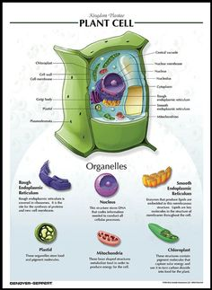 Plant cell structure and organelle