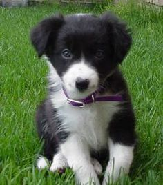 Thing I need #1: Border Collie puppy