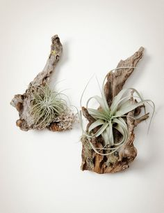 Tillandsia Wood Mounts feature air plants mounted to locally harvested wood pieces. Each unique mounted air plant is beautiful on a tabletop or hung on a wall.