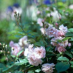 Planting Roses and Rose Soil Recipe
