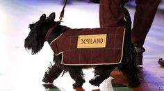 """SUCK-IT-UP! The use of Scottish terrier dogs as mascots at the opening ceremony of the Commonwealth Games in Glasgow has been branded """"shameful"""" and """"offensive"""" by Malaysian politicians. Commonwealth Games, Terrier Dogs, Dog Houses, Westies, Glasgow, Edinburgh, Scotland, Scottie Dogs, Pets"""