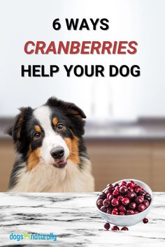 What's small and tart and red all over?   AND fights cancer, prevents diabetes and reduces the risk of heart disease?   If you guessed cranberries … you got it!   Despite being a powerful antioxidant, cranberries have some amazing benefits for dogs.   They are ...  Anti-Cancer Control Urinary Tract Infections Manage Gut And Immune Health Reduce Risk of Heart Disease Prevent Diabetes Promote Oral Health  Here's how to safely share this red rocket with your dog.