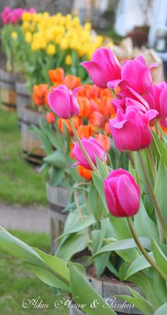 Bright yellow, orange and pink tulips -- these would look awesome in single-color groups around the yard!