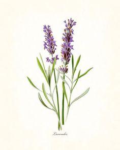 French Lavender Botanical Print