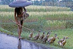 Bali . ganzenhoeder brengt zijn ganzen naar huis in de regen.  '88 huwelijksreis naar Indonesië met een start in Singapore, daarna Sumatra, Java, Lombok, Bali en Sulawesi. Wat een ervaring!
