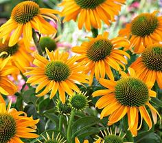 """Echinacea/Coneflower, """"Amber Mist"""" (White Flower Farm).  I've been fighting myself to not buy this.  It's the name, of course!  But 26 dollars is too much for a single echinacea--especially since the yellow ones haven't survived long in my garden.  (Maybe if I find it in a store for a lower price.)"""