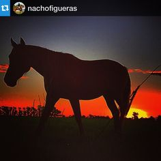 #Repost @nachofigueras with @repostapp.・・・@criayatay Number 8 (Raptor-Pícaro) #Sunset #stallion #criayatay #breeding