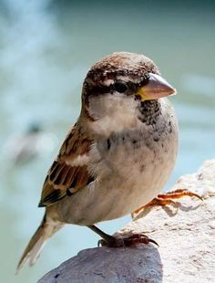 Sparrow- such precious little birds!