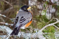 American Robin, Spring, Animaux