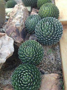saftig Sukkulenten,seed succulents G 10 Samen der Aloe thraskii