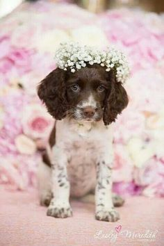 Click visit site and Check out Cool English Springer Spaniel T-shirts. This website is top-notch. Tip: You can search your name or your favorite shirts at search bar on the top. - My Doggy Is Delightful Animals And Pets, Baby Animals, Funny Animals, Cute Animals, Cute Dogs And Puppies, I Love Dogs, Doggies, Animal Gato, English Springer Spaniel