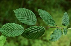 Közönséges gyertyán (Carpinus betulus, Betulaceae) (Turcsányi Gábor felvétele) Plant Leaves, Plants, Plant, Planets