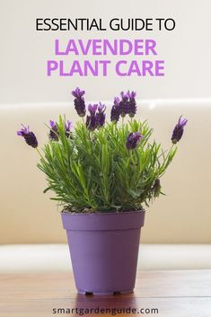 Everything you need to know about Lavender Plant care indoors. How to make your grow fast and remain healthy. I cover all aspects of care, as well as covering how to fix and prevent some of the common problems.