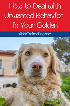 Need a few good tips for training your Golden Retriever? Let us help you out! Check out everything you need to know for a well-behaved Golden. Alpha Dog Training, Dog Training Classes, Best Dog Training, Dog Breeds Little, Best Dog Breeds, Wild Animals Pictures, Dog Grooming Business, Best Dog Food, Boxer Dogs