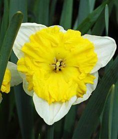 Orangery Daffodil