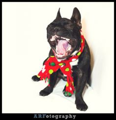 """""""Baby it's cold…"""", Frenchie French Bulldog"""