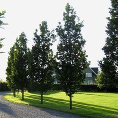 Irish Tree Centre - Quercus Robur 'Fastigiate Koster' (Cypress Oak or Pyramid Oak)