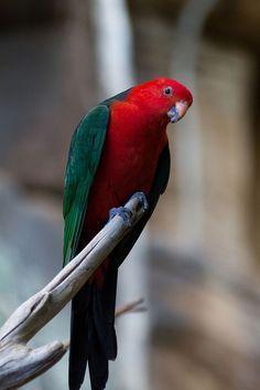 caigs parrots - Google Search
