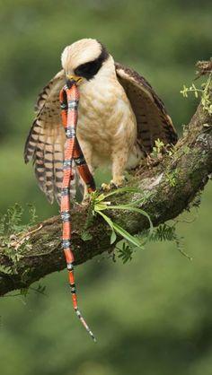 Laughing Falcon (Herpetotheres cachinnans) with snake prey in Costa Rica by Chris Jimenez All Birds, Birds Of Prey, Love Birds, Pretty Birds, Beautiful Birds, Animals Beautiful, Exotic Birds, Colorful Birds, Raptor Bird Of Prey