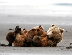 """hank perry photographs a mother grizzly bear and her triplets in alaska's katmai national park. describing the shoot, he noted, """"the tide was out, the sand was blowing, and the wind had some rain in it — not perfect for photography. Cute Baby Animals, Animals And Pets, Funny Animals, Wild Animals, Baby Pandas, Giant Pandas, Animal Babies, We Bear, Bear Cubs"""