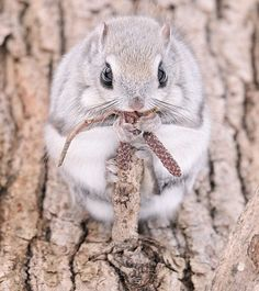 Siberian Flying Squirrel photographed by Masatsugu Ohashi/Rex USA Cutest Animals On Earth, Like Animals, Animals And Pets, Baby Animals, Funny Animals, Squirrel Pictures, Animal Pictures, Japanese Dwarf Flying Squirrel, Photo Chat