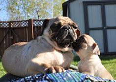 Pug mommy getting a kiss from her daughter.
