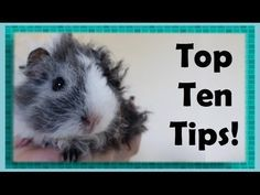 10 Things to Know Before You Get a Guinea Pig - YouTube