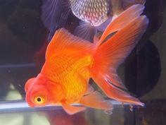 出目金(デメキン) Beautiful Fish, Beautiful World, Amphibians, Reptiles, Comet Goldfish, Fish Breeding, Purchase Card, Fish Illustration, Types Of Gold