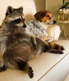 Pumpkin the Raccoon - Pets Tips & Advice | mom.me