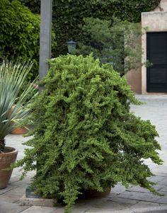 Juniperus procumbens 'Nana' (Alden Lane 6/18/16, Urban Tree Farm)
