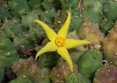 Piaranthus cornutus var. ruschii PVB 7203 , Northeast of Witputz , Namibia