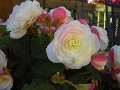 Cómo plantar Begonias | Cuidar de tus plantas es facilisimo.com
