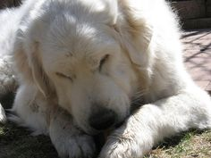 When I grow up I want to...Own a Great Pyrenees.  If I can't be a polar bear, I can at least have the comfort of owning a dog that looks like one. So fluffy...