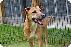 Cumming, GA - German Shepherd Dog/Mixed Breed (Medium) Mix. Meet Nikki 478-15, a dog for adoption. http://www.adoptapet.com/pet/18169728-cumming-georgia-german-shepherd-dog-mix