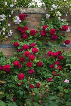 Rose Tess de los d'Urberville, Rosa 'Tess de los d'Urberville', Inglés Rose 'Tess de los d'Urberville', David Austin Roses, Inglés rosas, rosas rojas, rosas arbustos, rosales, rosas del jardín, rosas fragantes , rosas favoritas