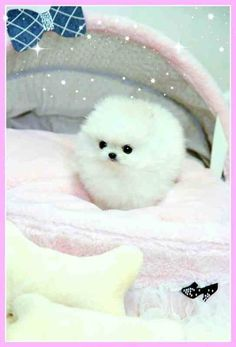 Link to a website that sells some of the tiniest puppies in the world! This is a Micro Teacup Pomeranian Dog Cute Baby Dogs, Baby Animals Super Cute, Cute Little Puppies, Cute Little Animals, Cute Dogs And Puppies, Cute Funny Animals, Cutest Dogs, Doggies, Cute Pomeranian