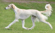 Lovely moving Saluki!