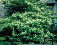 Why it rocks: Striking in every season, Pagoda Dogwood is an extremely adaptable North American native tree. Pagoda Dogwood has an extremely distinct, hori Pagoda Dogwood, Dogwood Trees, Flowering Shrubs, Trees And Shrubs, Blue Fruits, Asian Garden, Clay Soil, Garden Trees, Small Trees